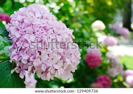 Shrub of Hydrangea is photographed at the moment of blooming in the summer park. Focus is on the front large rounded flower head. - stock photo