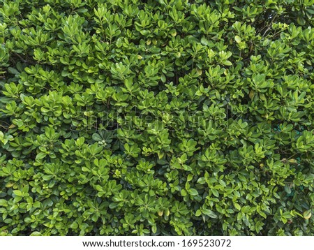 Shrub on the limits of the garden, texture, nobody. Landscape design.  - stock photo