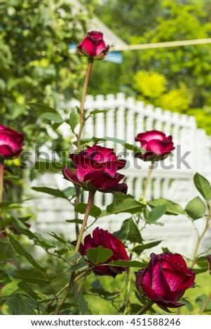 Shrub red roses in garden - stock photo