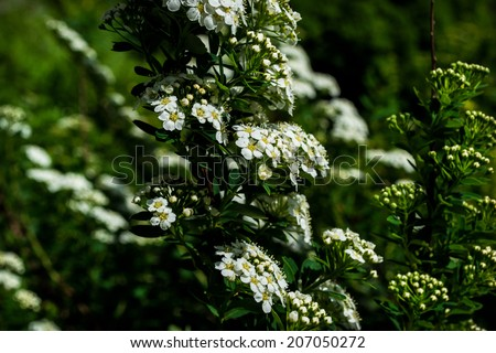 shrub, white flowers, white shrub gardens, ornamental plants, ornamental garden plant, tree, lots of white flowers, summer, sun, spring, green, white, calm, garden accessory, pick
