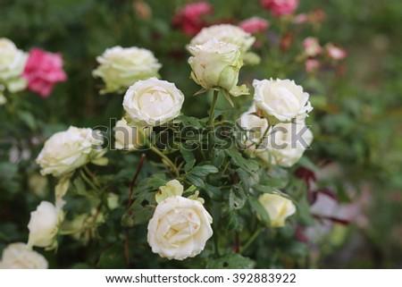 shrub white roses - stock photo