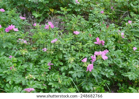 Shrub wild rose with flowers. - stock photo