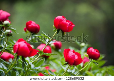 Shrub with many peony flowers of crimson (raspberry pink) colour