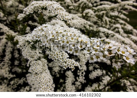 shrub with small white flowers, van Houtte'a spirea (Spiraea vanhouttei) - stock photo