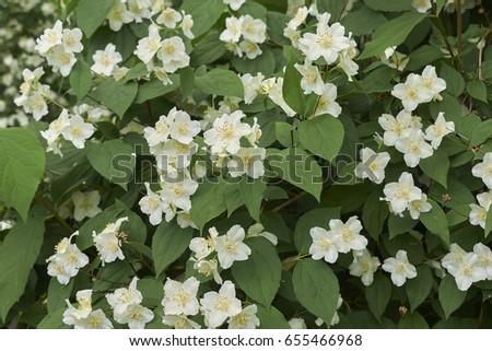 Shrub white fragrant flower stock photo royalty free 655466968 shrub with white fragrant flower mightylinksfo