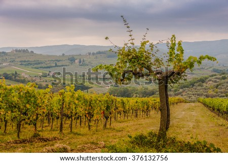 Shrubs grapes before harvest. Chianti, Tuscany, Italy - stock photo
