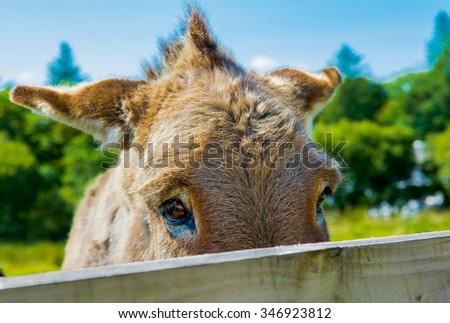 Shy Donkey Behind A Wooden Fence - stock photo