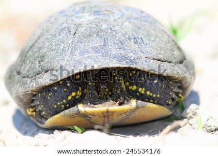 shy european pond turtle ( Emis orbicularis ) trying to protect itself on sandy beach - stock photo