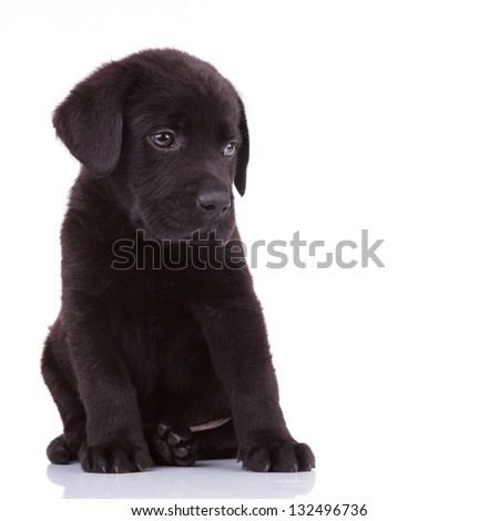 shy labrador retriever puppy dog looking to its side - stock photo