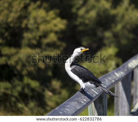 shy little pied cormorant microcarbo melanoleucos with a yellow bill perched on a dried branch on