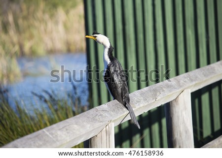 Shy Little pied cormorant microcarbo melanoleucos  with a  yellow bill  perched on  a wooden rail by the lake on a sunny afternoon in late winter in Big Swamp, Bunbury, Western Australia  .