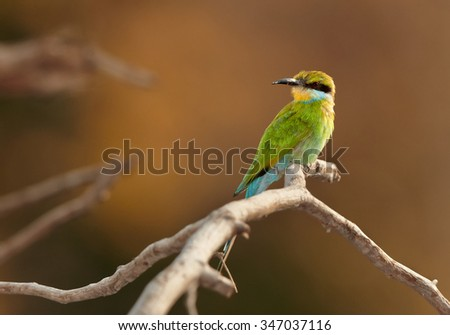 Shy Swallow-tailed Bee-eater Merops hirundineus adult, perched on branch with orange distant background, Chobe national park, Botswana, August. - stock photo