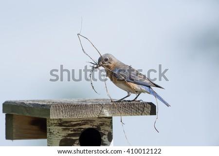 Sialia Sialis or Bluebird with Nesting Materials on Nesting Box - stock photo