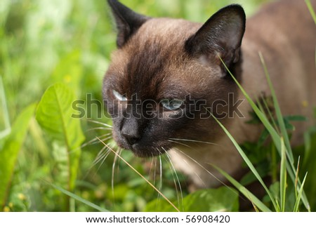 siam cat walking in green grass - stock photo
