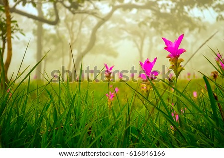 Siam tulip, the pink flowers in Chaiyaphum province, Thailand.