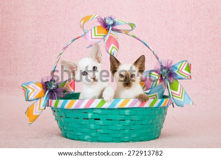 Siamese and Oriental kittens sitting inside green basket decorated with Spring ribbon on pink background  - stock photo