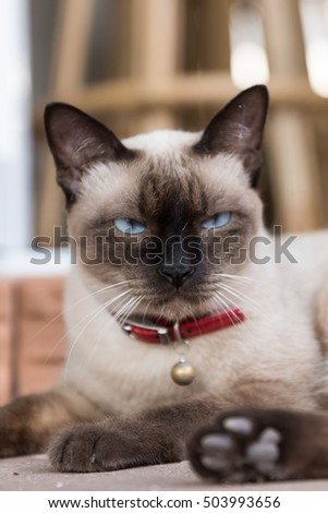 Siamese cat,Beautiful close up cat,Thailand.