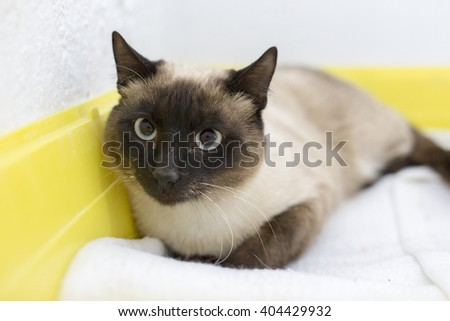 Siamese cat in shelter - stock photo