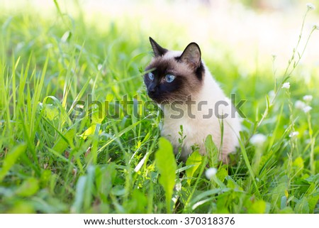 Siamese cat in the grass with blue eyes - stock photo