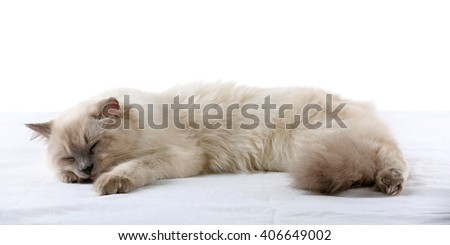 Siamese cat isolated on white - stock photo