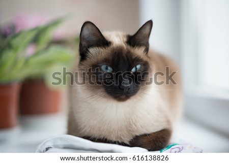 Siamese cat looking through the window