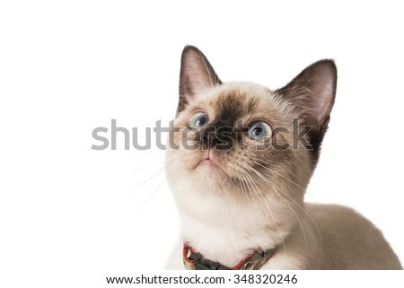Siamese Cat Looking Up, Isolated White Background