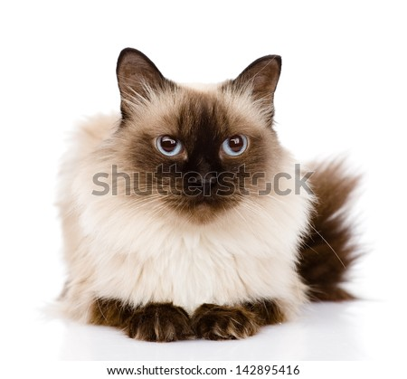 siamese cat lying in front. isolated on white background - stock photo