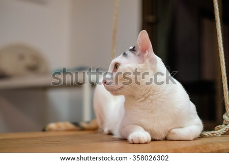 siamese cat lying on wooden swing. - stock photo