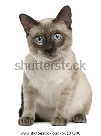 Siamese cat, 8 months old, sitting in front of white background - stock photo