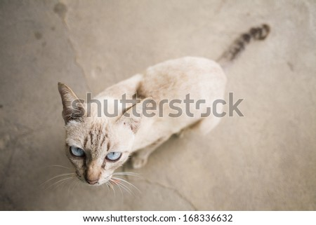 Siamese Cat on old floor, looking to camera - stock photo