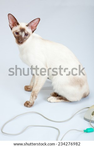 Siamese Cat plays with computer mouse - stock photo