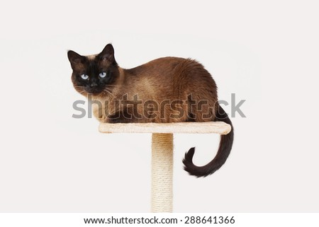 siamese cat resting on lookout platform on top of scratching post - stock photo