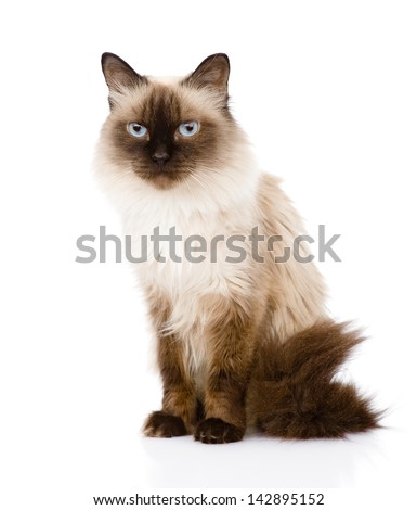 siamese cat sitting in front. isolated on white background - stock photo