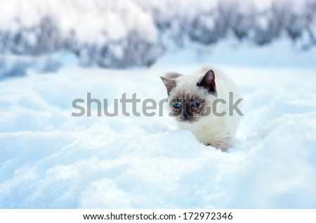 Siamese cat sneaking in the deep snow - stock photo