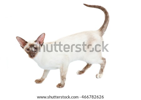 Siamese Cat stands, isolated on white background