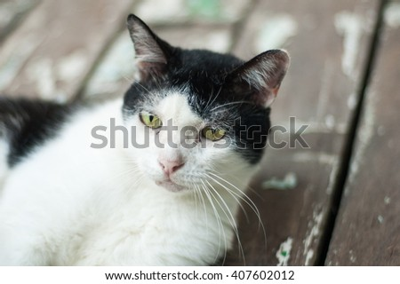 Siamese cat,Thailand cat,Close up - stock photo
