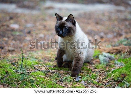 Siamese cat walking in the forest. - stock photo