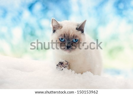 Siamese cat walking in the snow - stock photo