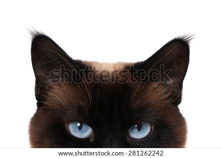 siamese cat with blue eyes peeking isolated on white                - stock photo