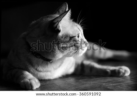 Siamese cats                      - stock photo