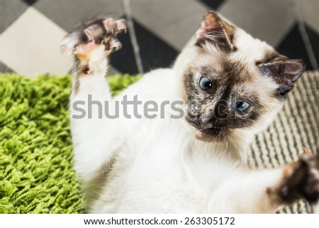 Siamese domestic cat attacking with claws out. - stock photo