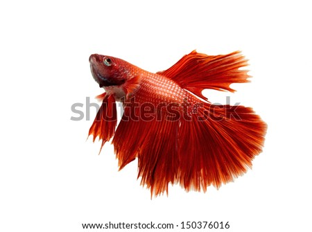 Siamese fighting fish, Beta fish on white background. - stock photo