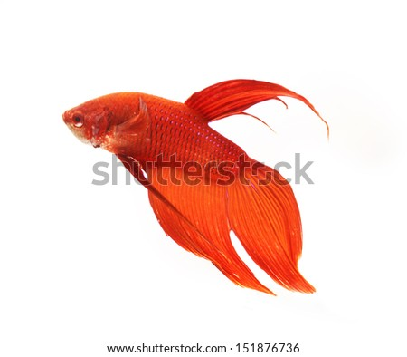 Siamese fighting fish (Betta fish, Betta splendens) in a fishbowl isolated on white background. - stock photo