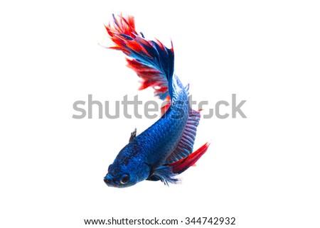 siamese fighting fish, betta fish isolated on white - stock photo
