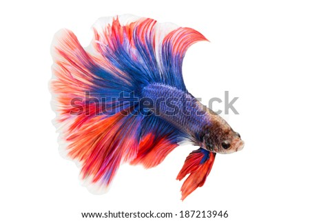 siamese fighting fish , betta isolated on white background. - stock photo