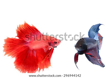 siamese fighting fish , betta on white background.