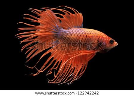 Siamese fighting fish (Betta splendens) isolated on white background. - stock photo