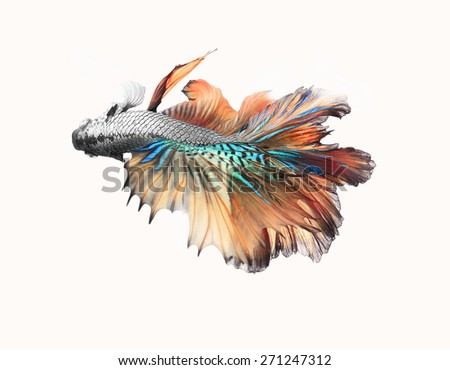 Siamese fighting fish,colorful half moon isolated on white background. - stock photo