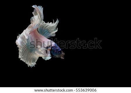Siamese fighting fish fancy white and blue halfmoon Betta, Side view. Isolated on black background.