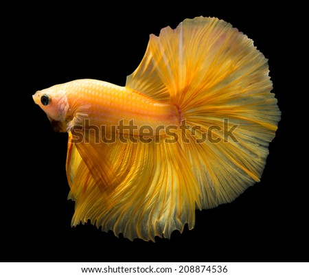 siamese fighting fish isolated on black background. - stock photo